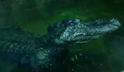 alligatore hitler