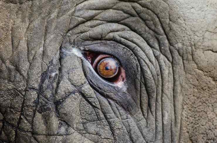 Occhio di elefante