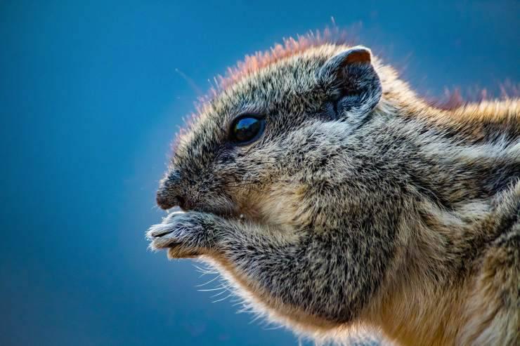 Morso di scoiattolo