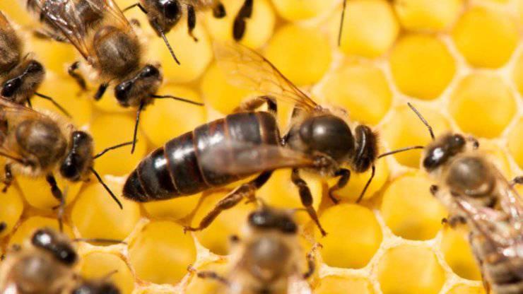 ape regina in mezzo alle altre api
