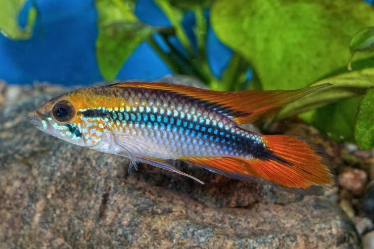pesce apistogramma agassizii