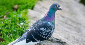 10 motivi per apprezzare i piccioni