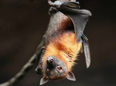 Pipistrello domestico