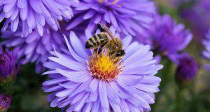 Le api sui fiori (Foto Pixabay)