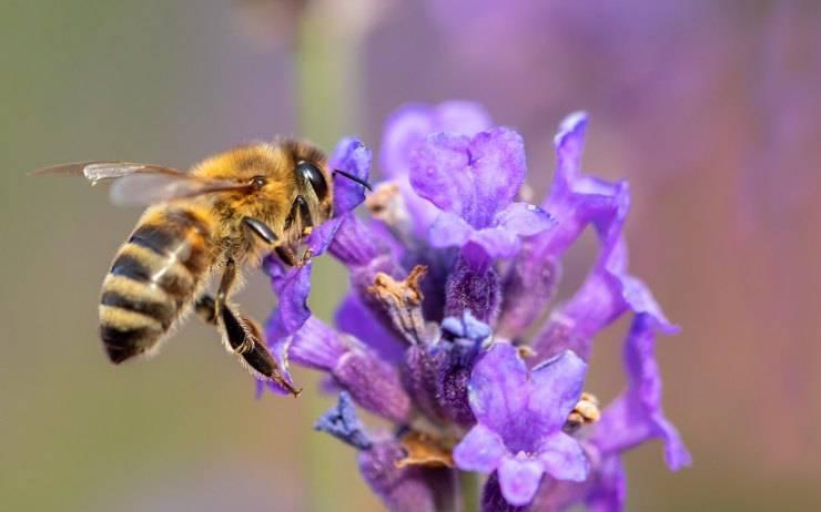 insetto ape fiore