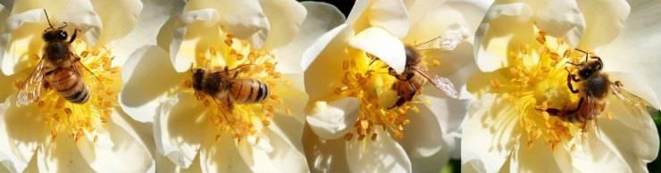curiosità api