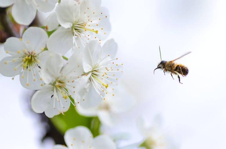 L'ape è l'impollinatrice naturale