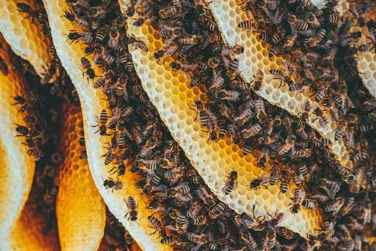 Differenza tra api e vespe