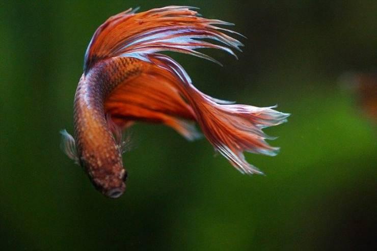 6 fatti sul pesce betta
