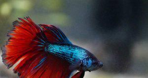 sintomi della vecchiaia nel pesce betta