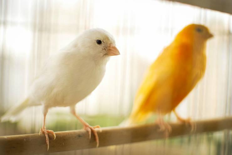 Il canarino non canta più