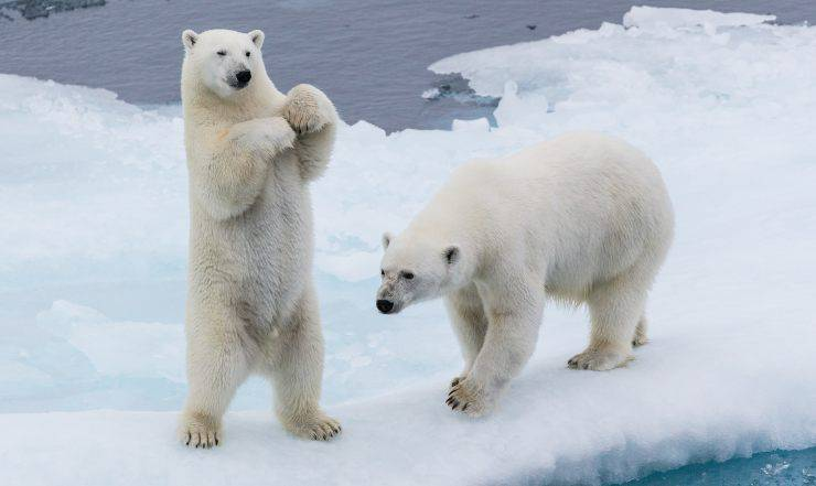 Orsi polari e cambiamento climatico