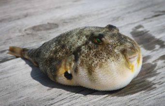Mangiare il pesce palla