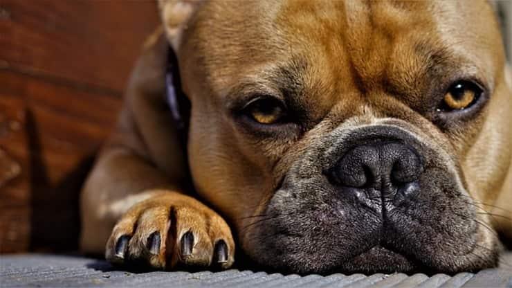 bulldog legato e abbandonato