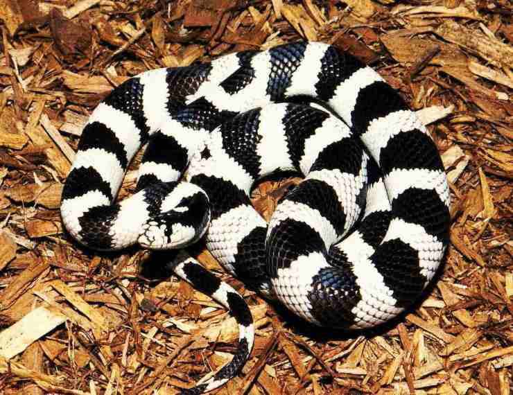 california king snake serpente