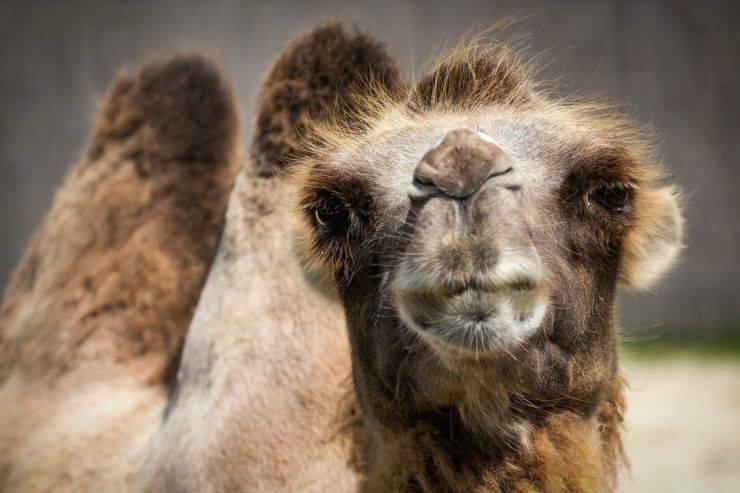 Gobbe del cammello