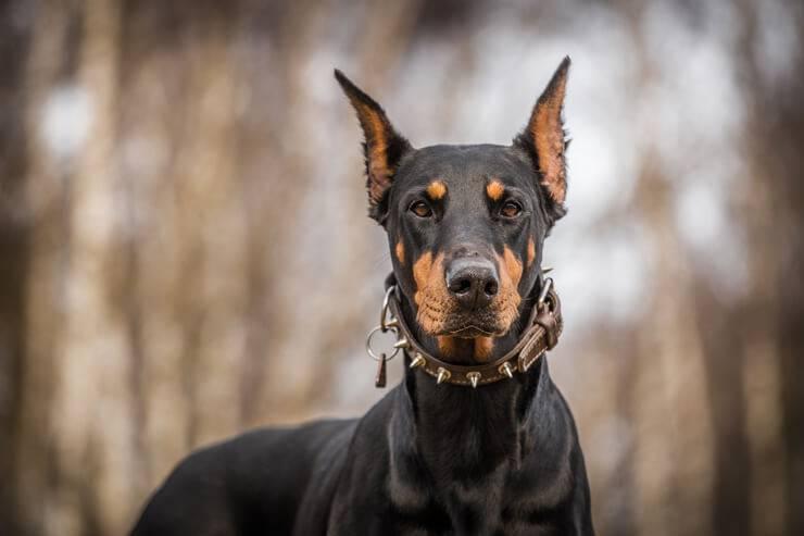 Il cane abbaia troppo (Foto AdobeStock)