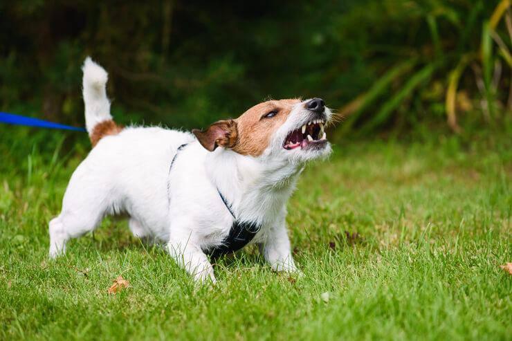 cucciolo rabbia ringhio