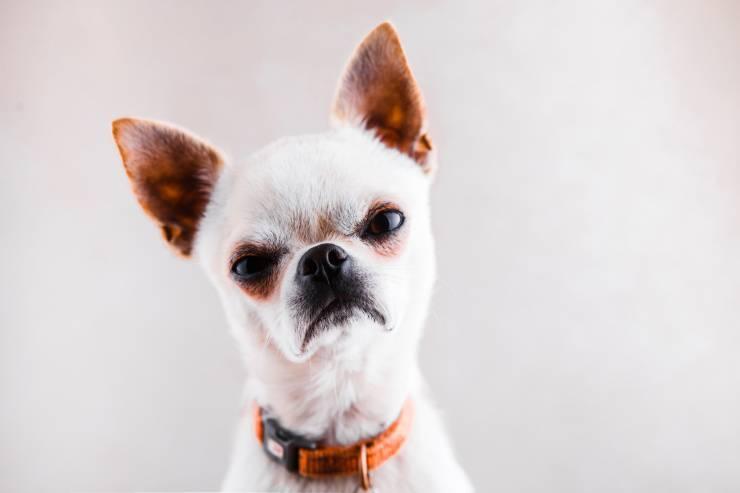 Il cane abbaia troppo, appena qualcuno entra in casa: come intervenire