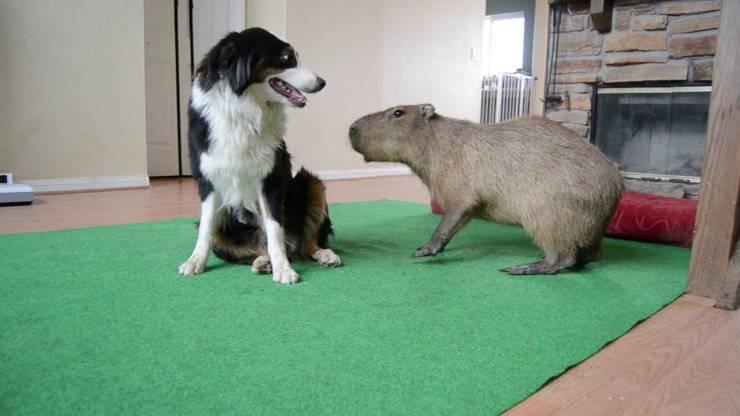 amicizie animali: cane e capibara