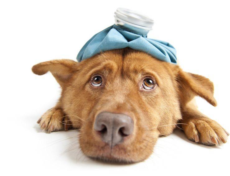 cane infezione febbre