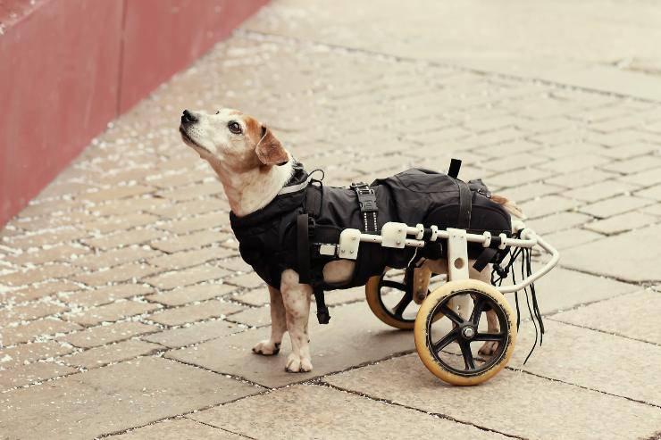 cane paralitico