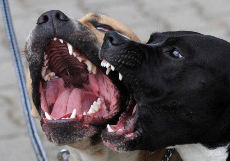 gatto affronta pitbull