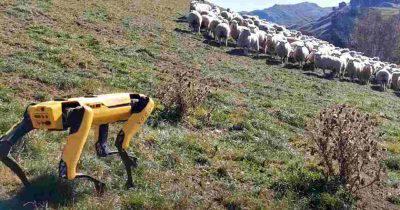 robot pastore greggi