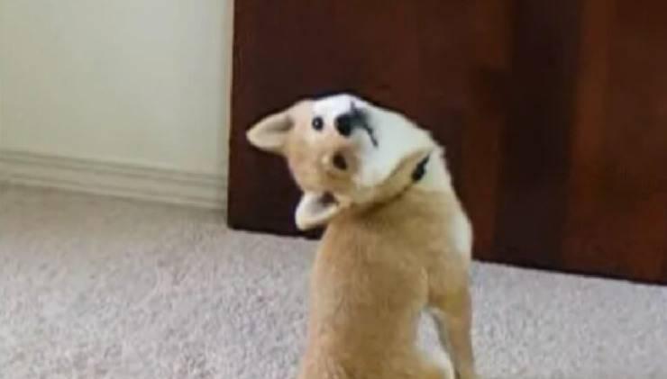 cane shiba inu famoso