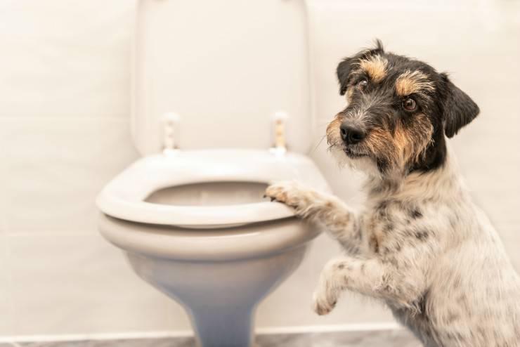 Il cane beve dal Wc