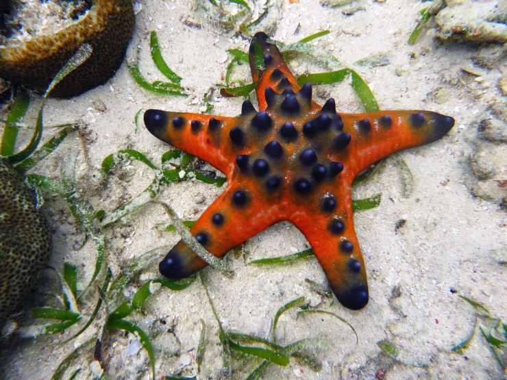 stella marina cannibale Protoreaster nodosus