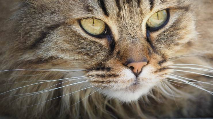Il gatto perde i baffi