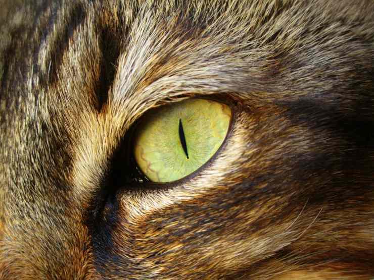 Occhi del gatto cambiano colore