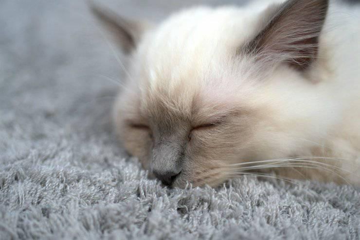 Capire se un gatto è sordo