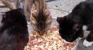 Il gatto può mangiare cibo umano?