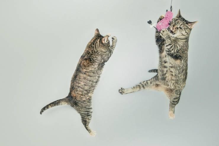 Gatti che balzano