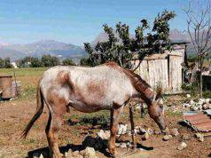 cavalli legati denutriti