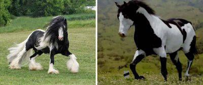 cavalli bianco nero