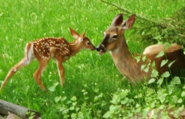 Cerbiatto e mamma cervo