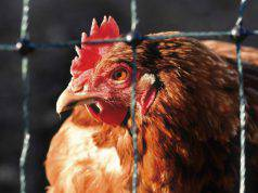 La gallina non fa le uova