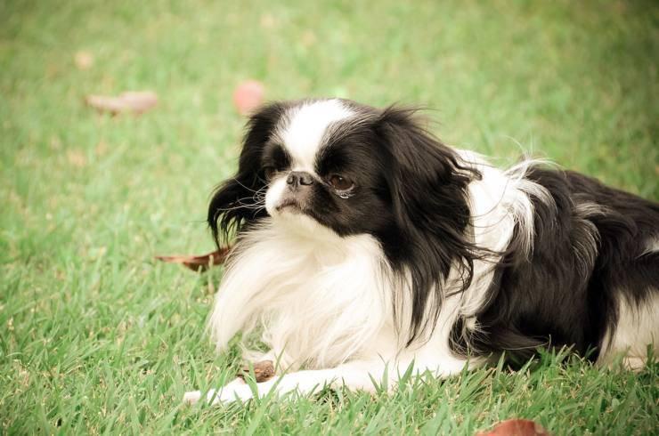 Razze di cani più facili da gestire chin giapponese