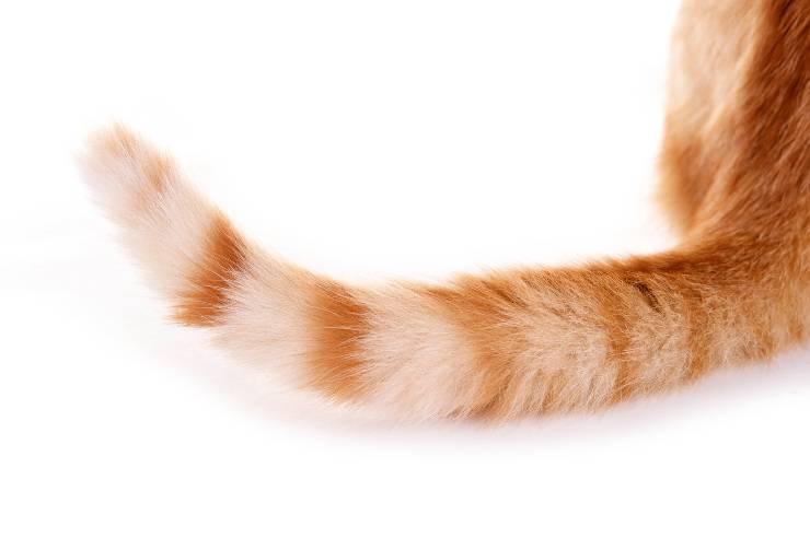 coda gatto