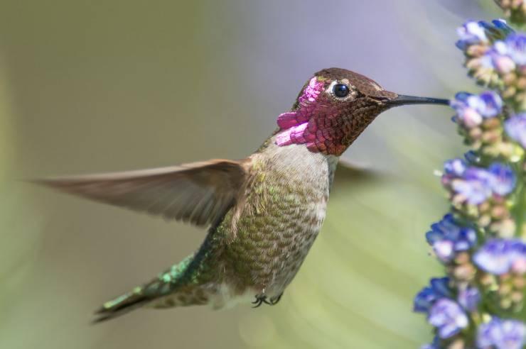colibri di Anna Flickr