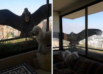 condor cani