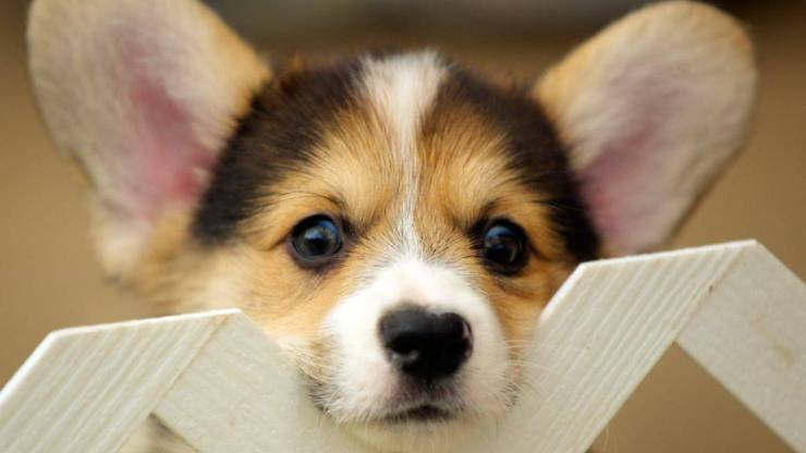 razze di cani più longeve