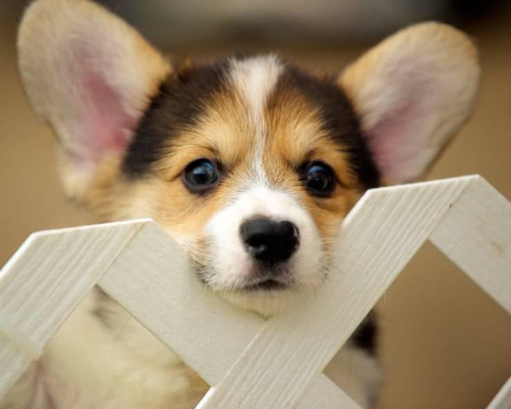 I pro e i contro di avere un Corgi come cane domestico
