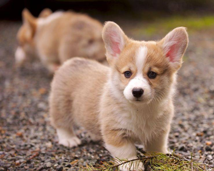 corgis puppy cucciolo