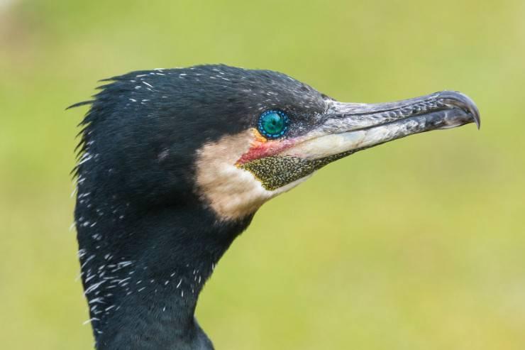Caratteristiche del cormorano
