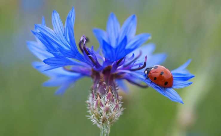 La coccinella sul fiordaliso (Foto Pixabay)