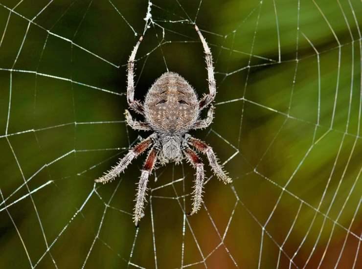 curiosità sui ragni